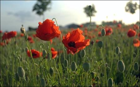 Source: Wikimedia Commons. Author: Tijl Vercaemer from Gent, Flanders #Belgium) (In Flanders Fields the poppies blow (3/3#)